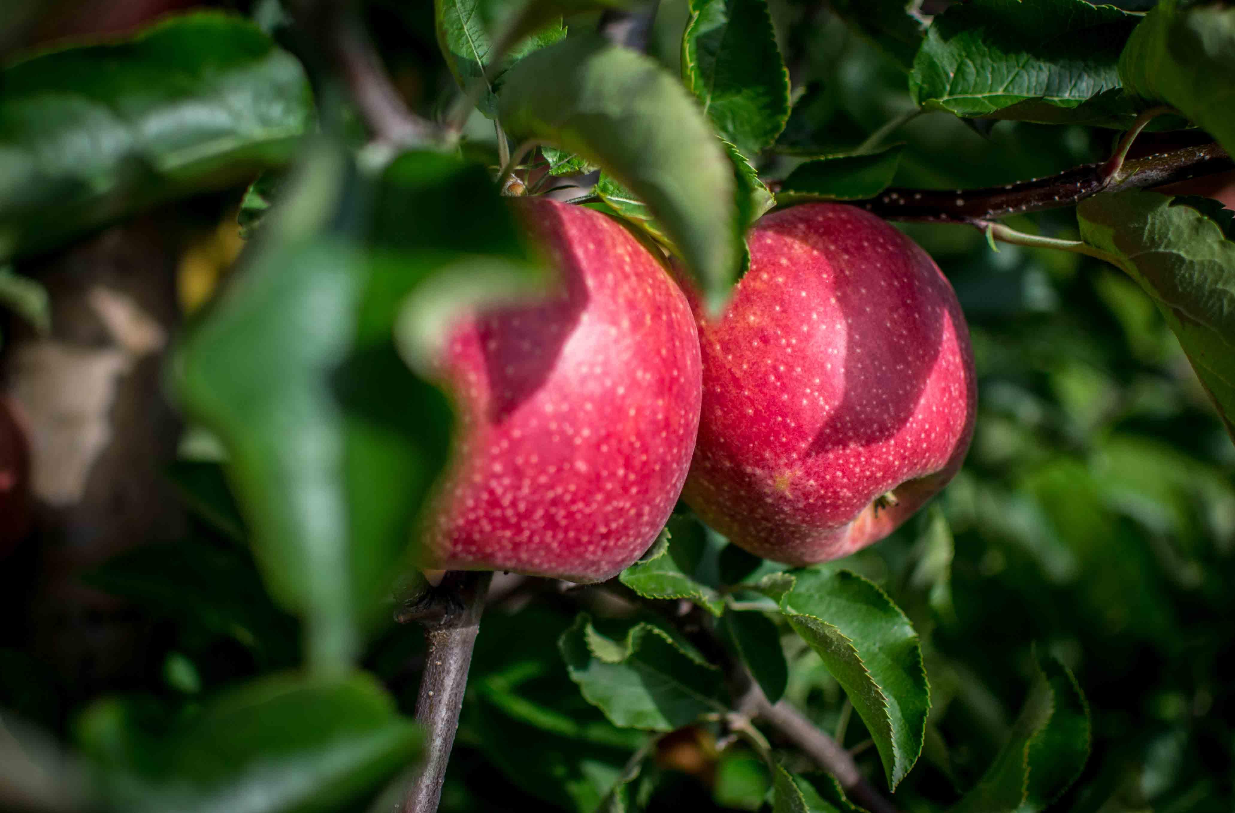 Nawożenie jabłoni – technologia